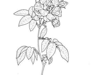 Цветы - сборник раскрасок_16