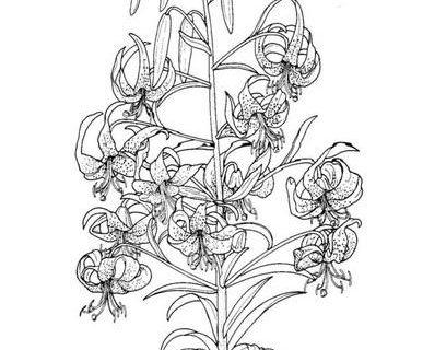 Цветы - сборник раскрасок_21
